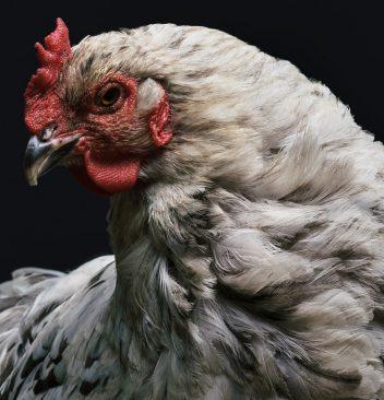 Rasanya Bermain di Situs Judi Sabung Ayam Terbaik S1288